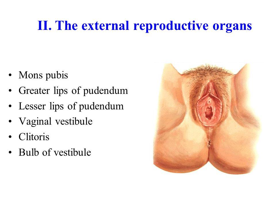 Accessory gland The greater vestibular (Bartholin's) glands –On either side of vaginal orifice –Open into vestibule at orifice of vagina Section 3 The