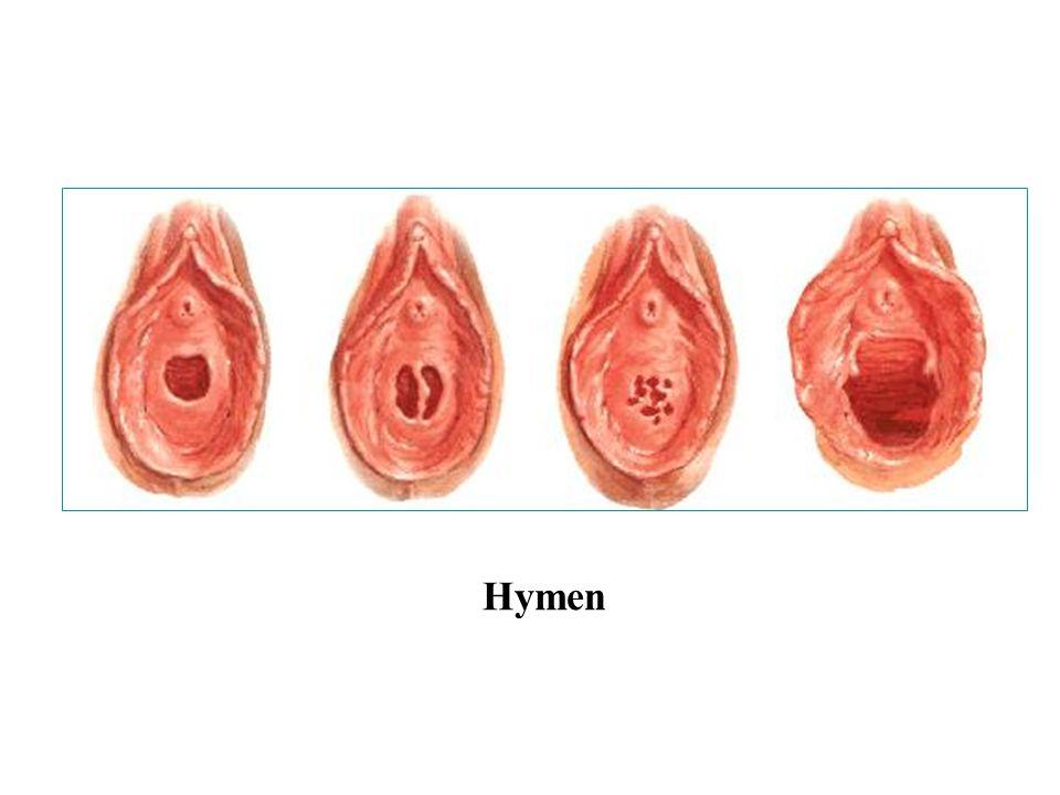 II. The external reproductive organs Mons pubis Greater lips of pudendum Lesser lips of pudendum Vaginal vestibule Clitoris Bulb of vestibule