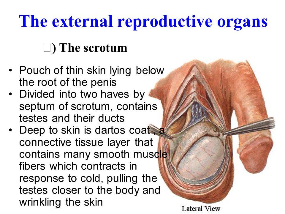 The External Genital Organs ( 外 生殖器 ) A. THE SCROTUM ( 阴囊 ) B. THE PENIS ( 阴茎 )