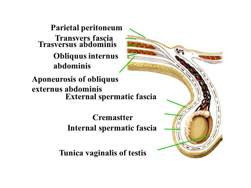 cavity of tunica vaginalis ( 鞘膜腔 ) [hydrocele of tunica vaginalis 鞘膜积液 ] [varicocele 精索静脉曲张 ] The Scrotum ( 阴囊 )