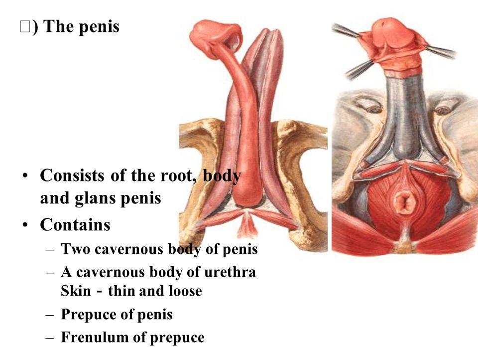 Aponeurosis of obliquus externus abdominis Obliquus internus abdominis Trasversus abdominis Transvers fascia Parietal peritoneum External spermatic fascia Cremastter Internal spermatic fascia Tunica vaginalis of testis