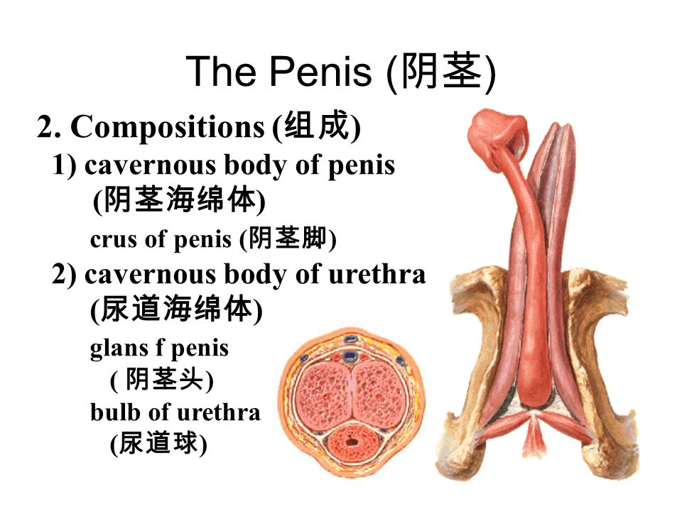 The male urethra Three parts Prostatic part Lies within the prostate and is the widest and most dilatable portion of urethra. Membranous part L ies wi