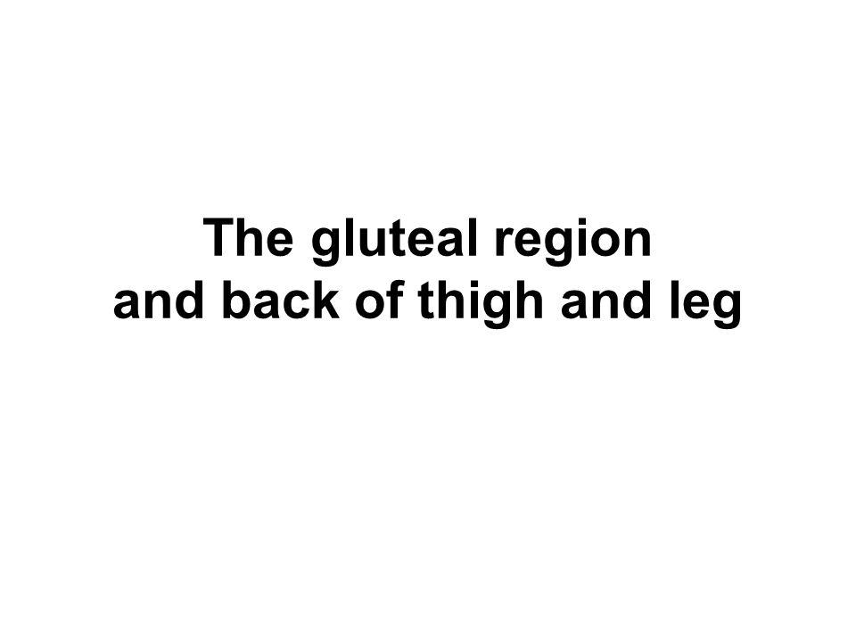 The Male Urethra( 男尿道 ) C.Curvatures ( 弯曲 ) 1. Subpubic curvature ( 耻骨下曲 ) 2.