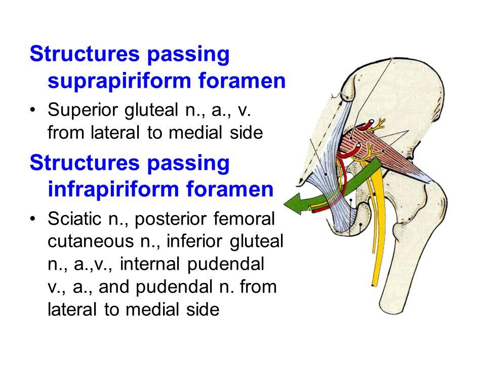suprapiriform foramen infrapiriform foramen