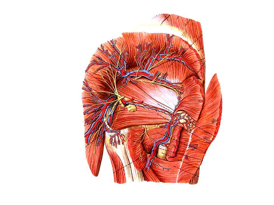 Structures passing suprapiriform foramen Superior gluteal n., a., v.
