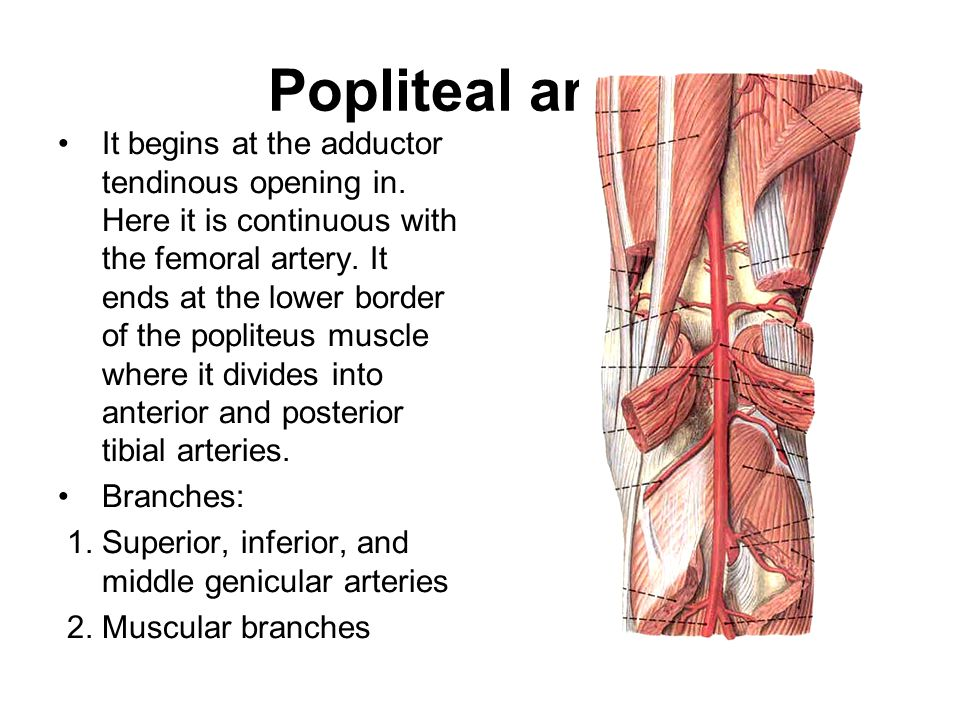 Contents of the popliteal fossa Tibial and common peroneal nerves and their branches Popliteal vein and its tributaries Popliteal artery and its branc