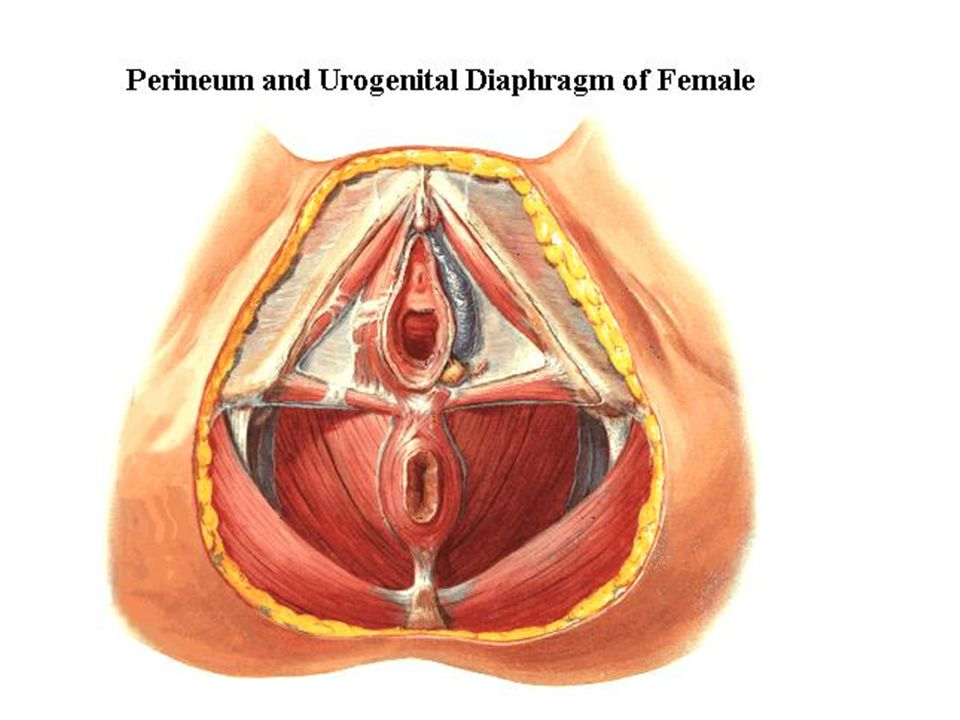 Obstetrical perineum Section 3 The perineum Female