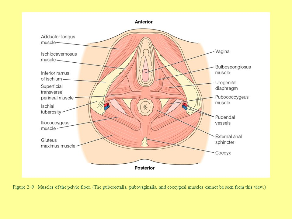 Figure 2–9 Muscles of the pelvic floor. (The puborectalis, pubovaginalis, and coccygeal muscles cannot be seen from this view.)