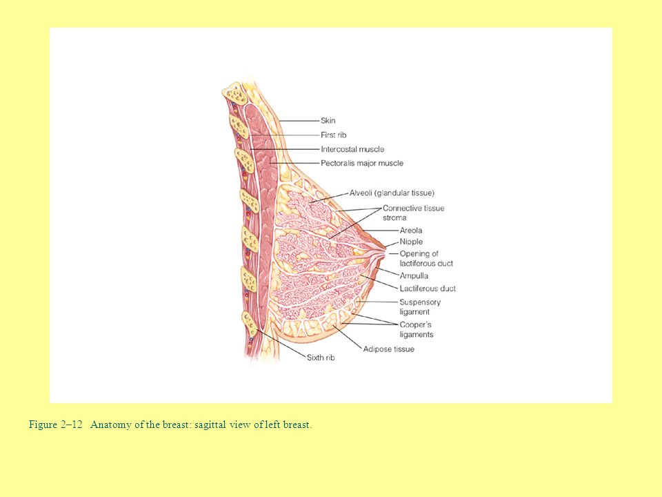 Figure 2–12 Anatomy of the breast: sagittal view of left breast.