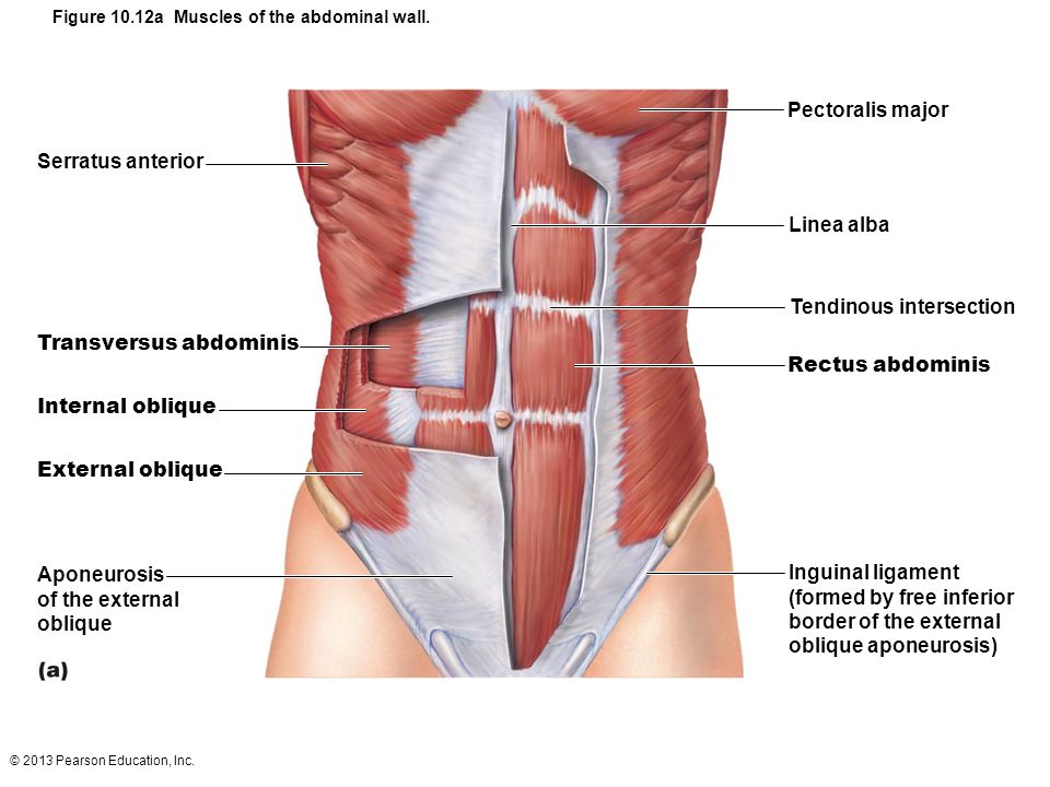 © 2013 Pearson Education, Inc. Figure 10.12a Muscles of the abdominal wall. Linea alba Pectoralis major Tendinous intersection Rectus abdominis Inguin