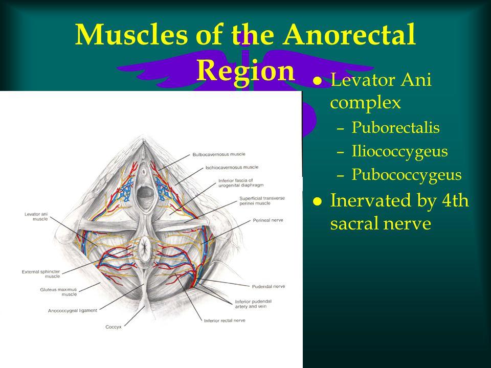 Muscles of the Anorectal Region l Levator Ani complex –Puborectalis –Iliococcygeus –Pubococcygeus l Inervated by 4th sacral nerve