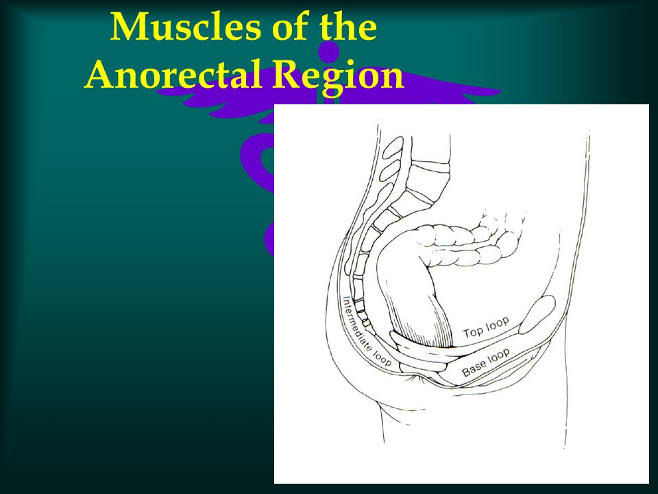 Muscles of the Anorectal Region