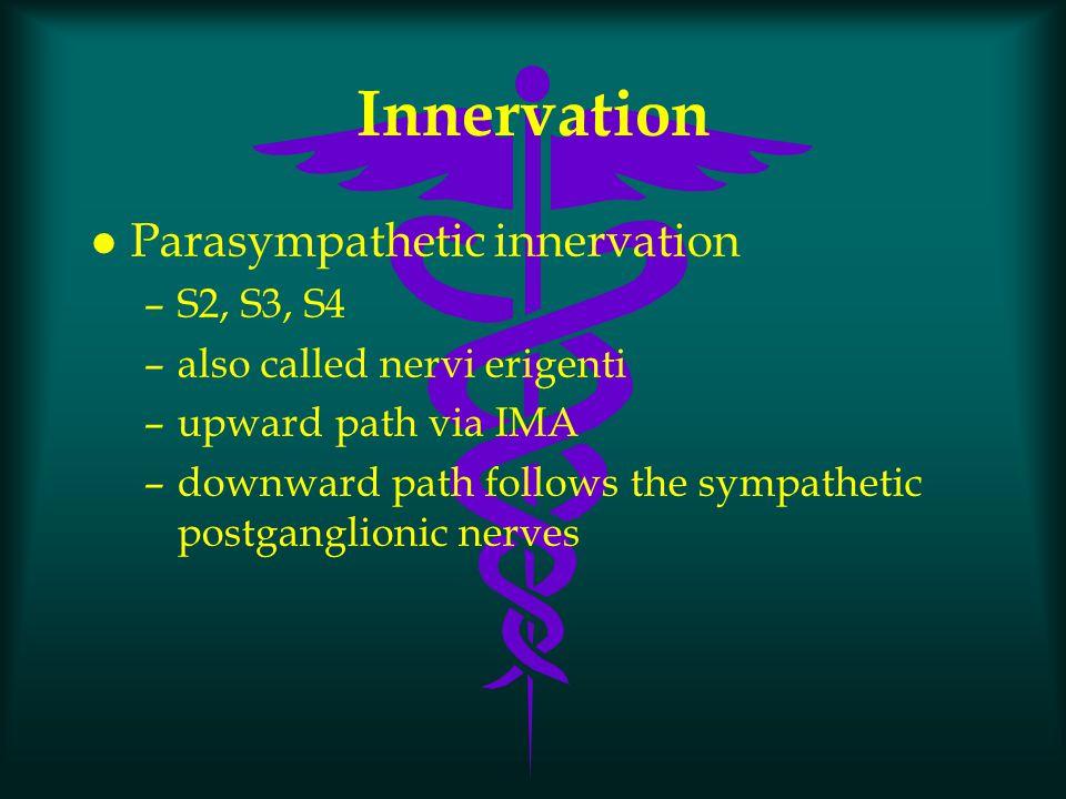 Innervation l Parasympathetic innervation –S2, S3, S4 –also called nervi erigenti –upward path via IMA –downward path follows the sympathetic postgang
