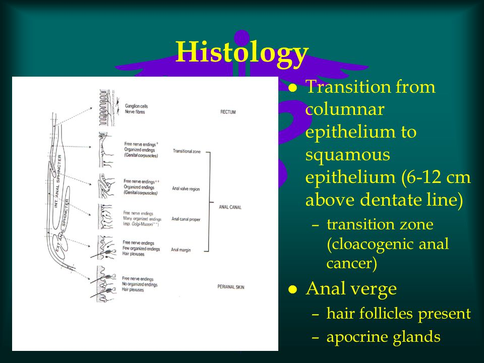 Histology l Transition from columnar epithelium to squamous epithelium (6-12 cm above dentate line) –transition zone (cloacogenic anal cancer) l Anal