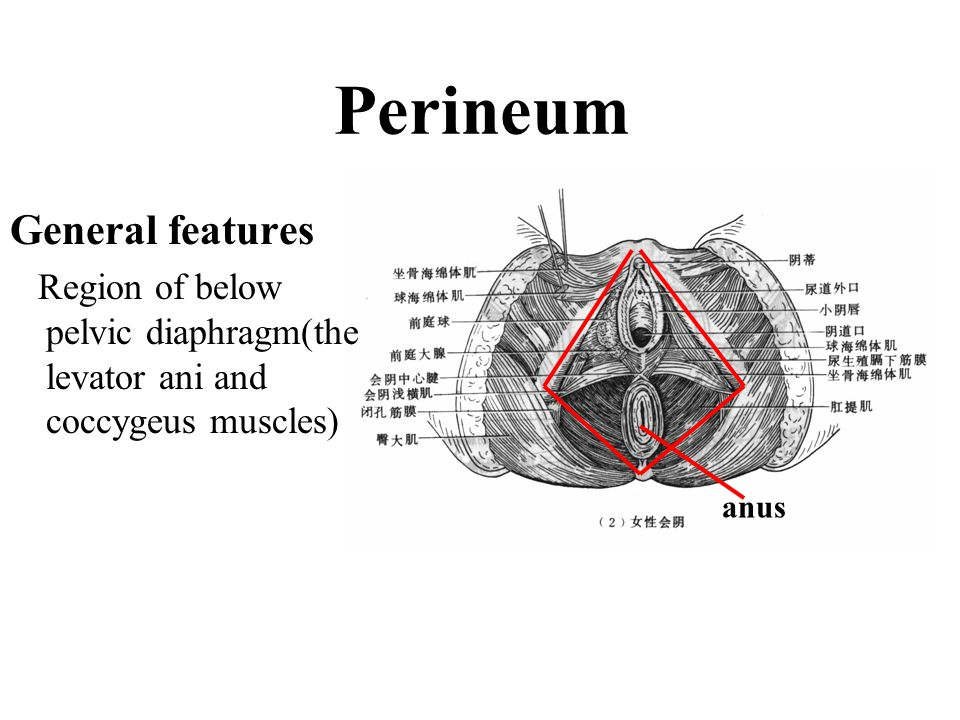 General features Region of below pelvic diaphragm(the levator ani and coccygeus muscles) Perineum anus