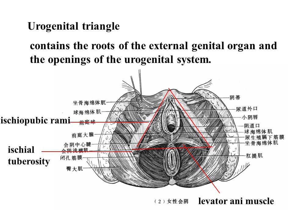 Anal triangle tip of the coccyx ischial tuberosity sacrotuberous ligament anus