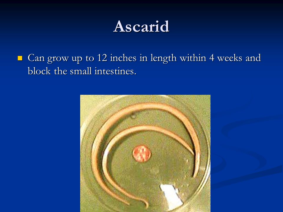 Ascarid Can grow up to 12 inches in length within 4 weeks and block the small intestines.