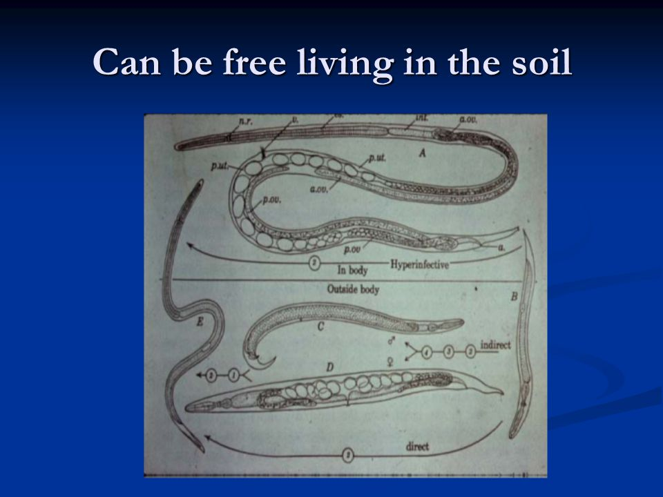 Can be free living in the soil
