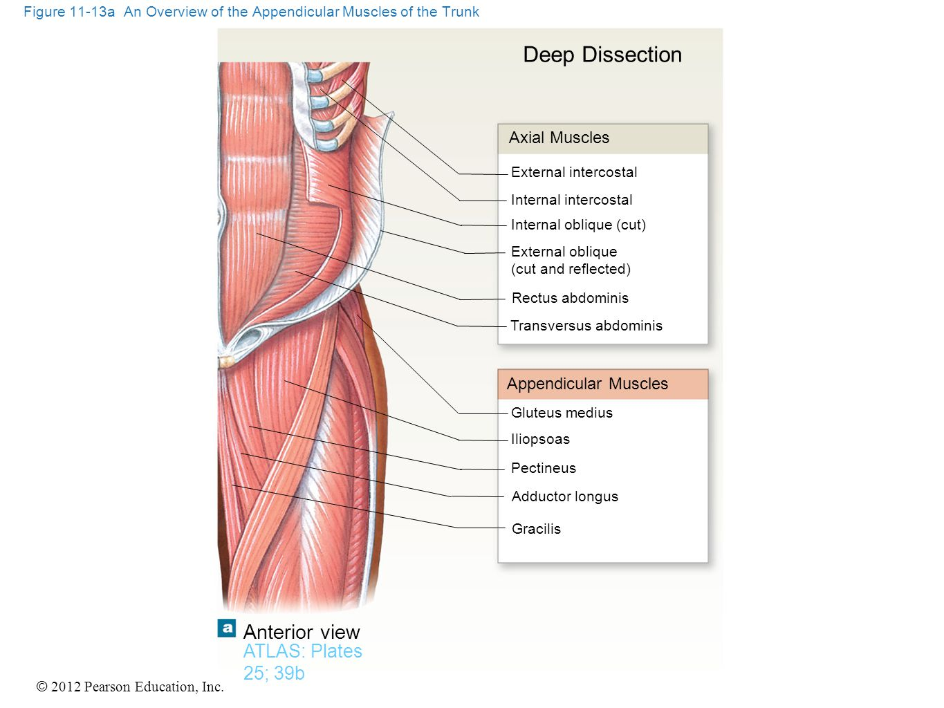 © 2012 Pearson Education, Inc. Figure 11-13a An Overview of the Appendicular Muscles of the Trunk ATLAS: Plates 25; 39b Anterior view Axial Muscles Ap