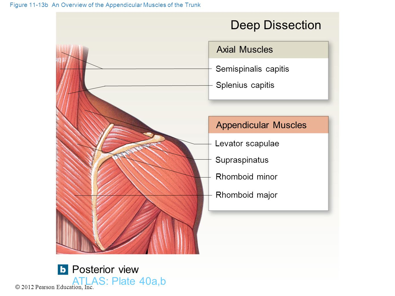 © 2012 Pearson Education, Inc. Figure 11-13b An Overview of the Appendicular Muscles of the Trunk ATLAS: Plate 40a,b Posterior view Deep Dissection Ax