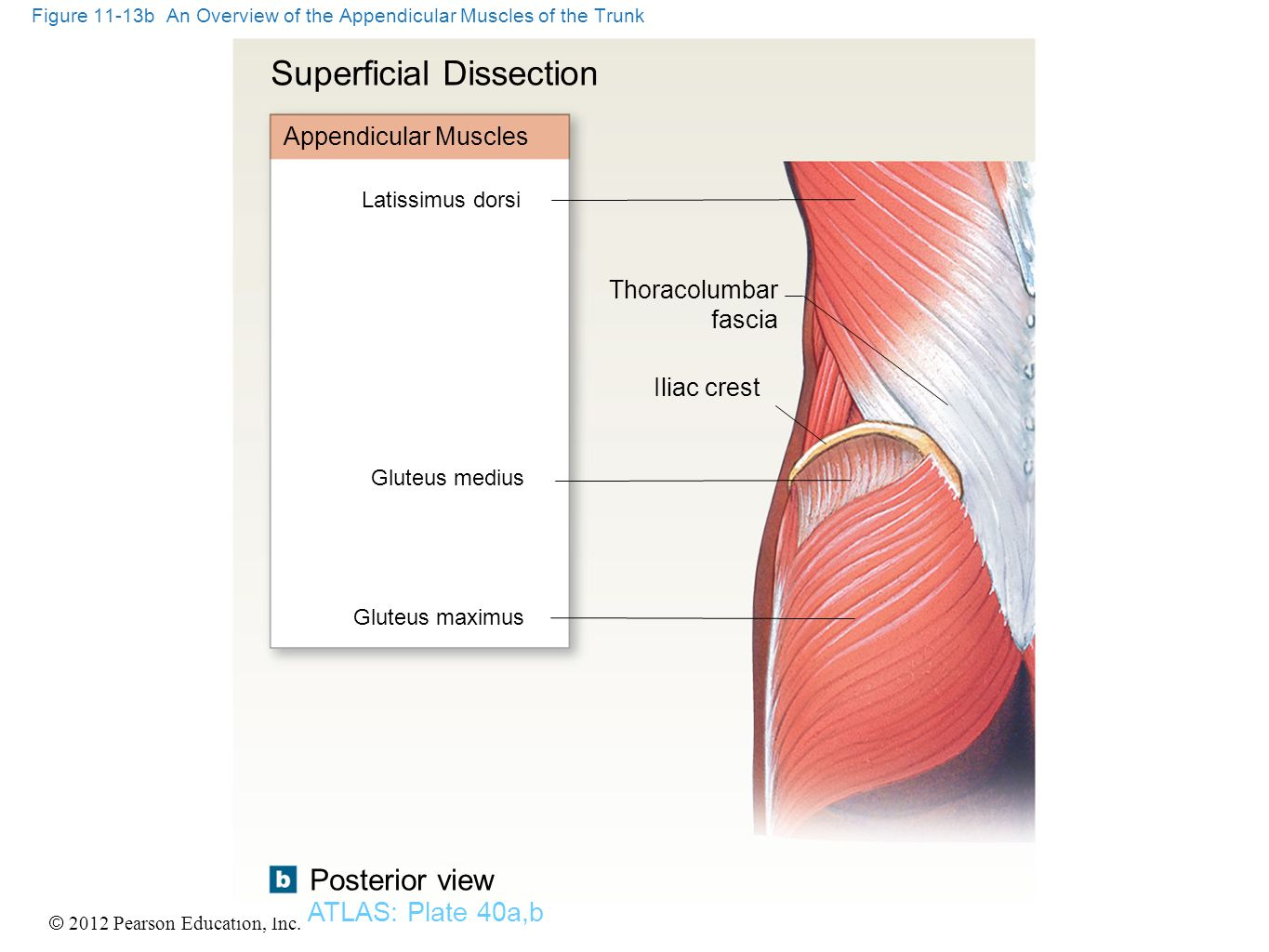 © 2012 Pearson Education, Inc. Figure 11-13b An Overview of the Appendicular Muscles of the Trunk ATLAS: Plate 40a,b Posterior view Latissimus dorsi T