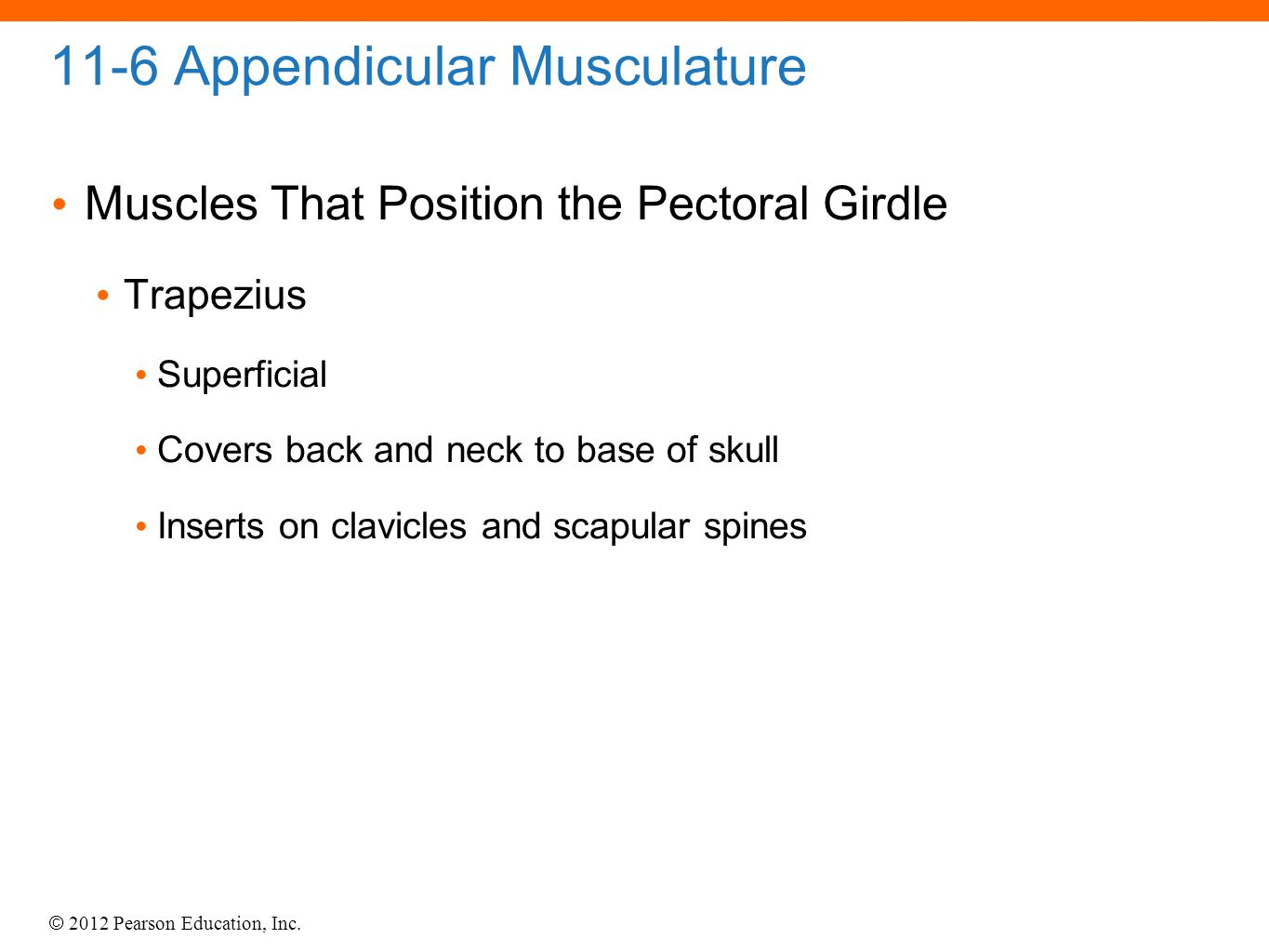 © 2012 Pearson Education, Inc. 11-6 Appendicular Musculature Muscles That Position the Pectoral Girdle Trapezius Superficial Covers back and neck to b