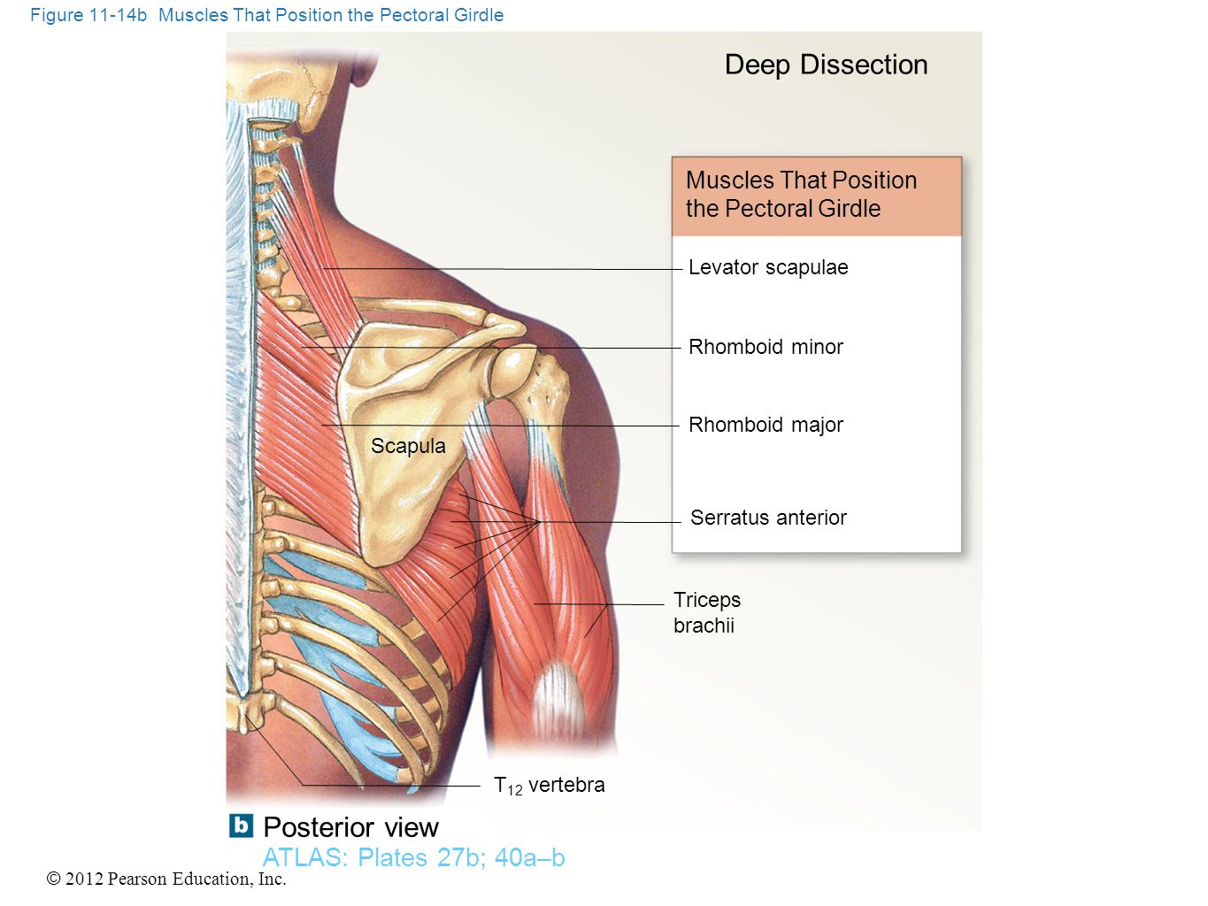 © 2012 Pearson Education, Inc. Figure 11-14b Muscles That Position the Pectoral Girdle Muscles That Position the Pectoral Girdle Deep Dissection Levat