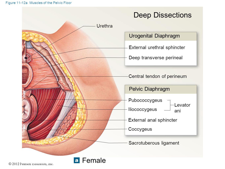 © 2012 Pearson Education, Inc. Figure 11-12a Muscles of the Pelvic Floor Urethra Urogenital Diaphragm External urethral sphincter Deep transverse peri