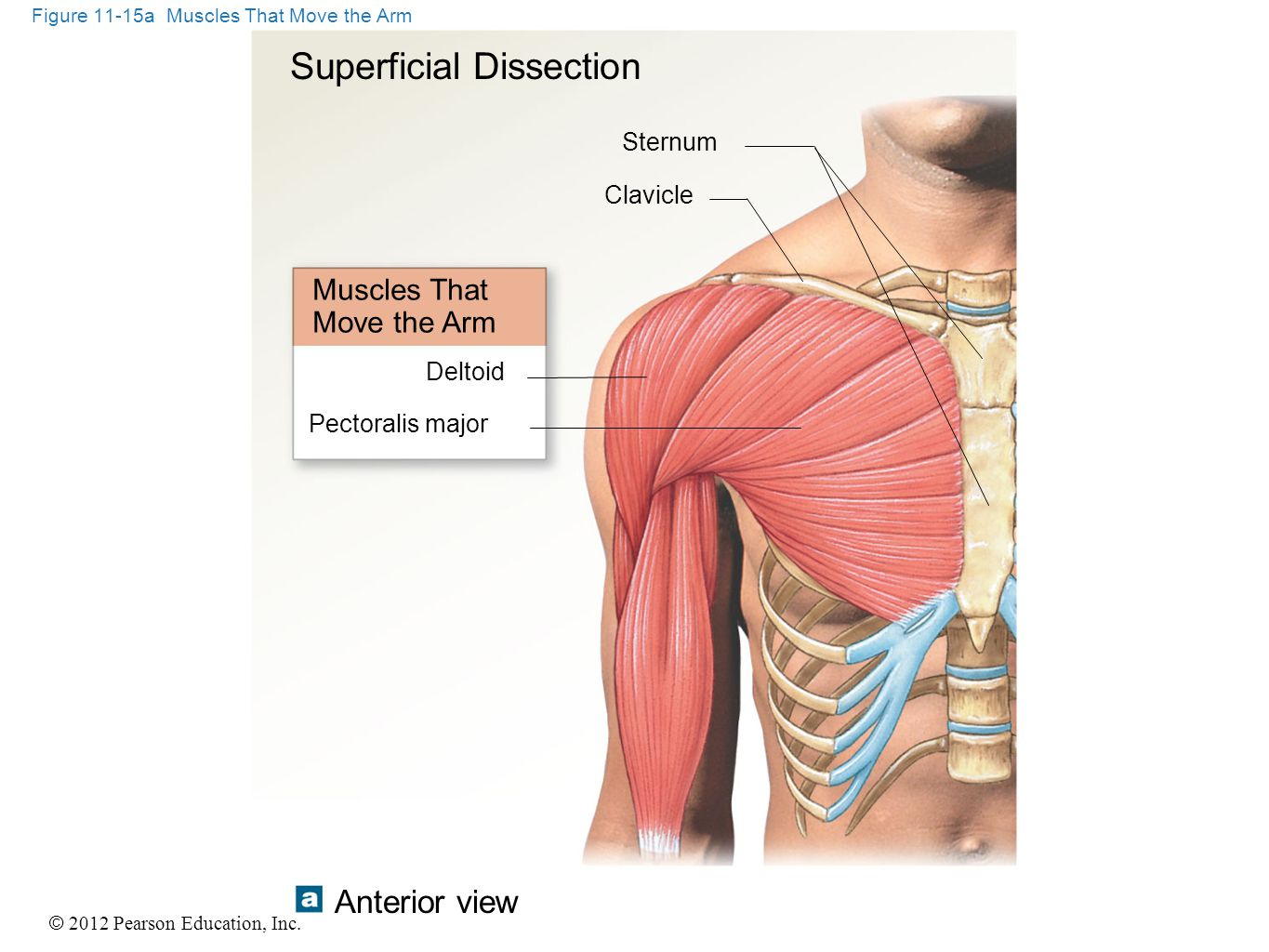 © 2012 Pearson Education, Inc. Figure 11-15a Muscles That Move the Arm Superficial Dissection Muscles That Move the Arm Deltoid Sternum Clavicle Pecto