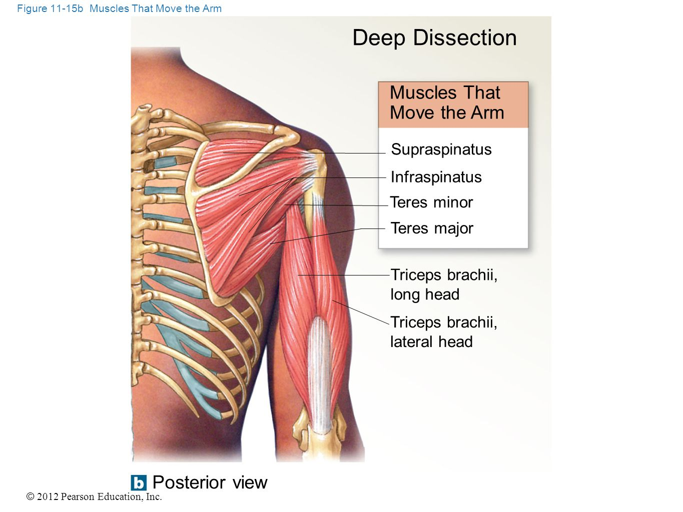 © 2012 Pearson Education, Inc. Figure 11-15b Muscles That Move the Arm Deep Dissection Muscles That Move the Arm Supraspinatus Infraspinatus Teres min