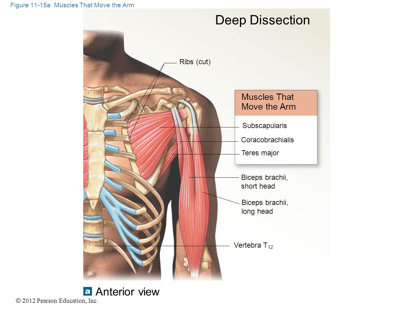 © 2012 Pearson Education, Inc. Figure 11-15a Muscles That Move the Arm Deep Dissection Muscles That Move the Arm Ribs (cut) Subscapularis Coracobrachi