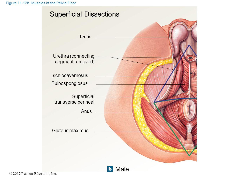 © 2012 Pearson Education, Inc. Figure 11-12b Muscles of the Pelvic Floor Male Testis Urethra (connecting segment removed) Ischiocavernosus Bulbospongi