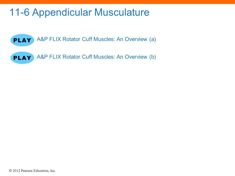 © 2012 Pearson Education, Inc. 11-6 Appendicular Musculature A&P FLIX Rotator Cuff Muscles: An Overview (a) A&P FLIX Rotator Cuff Muscles: An Overview