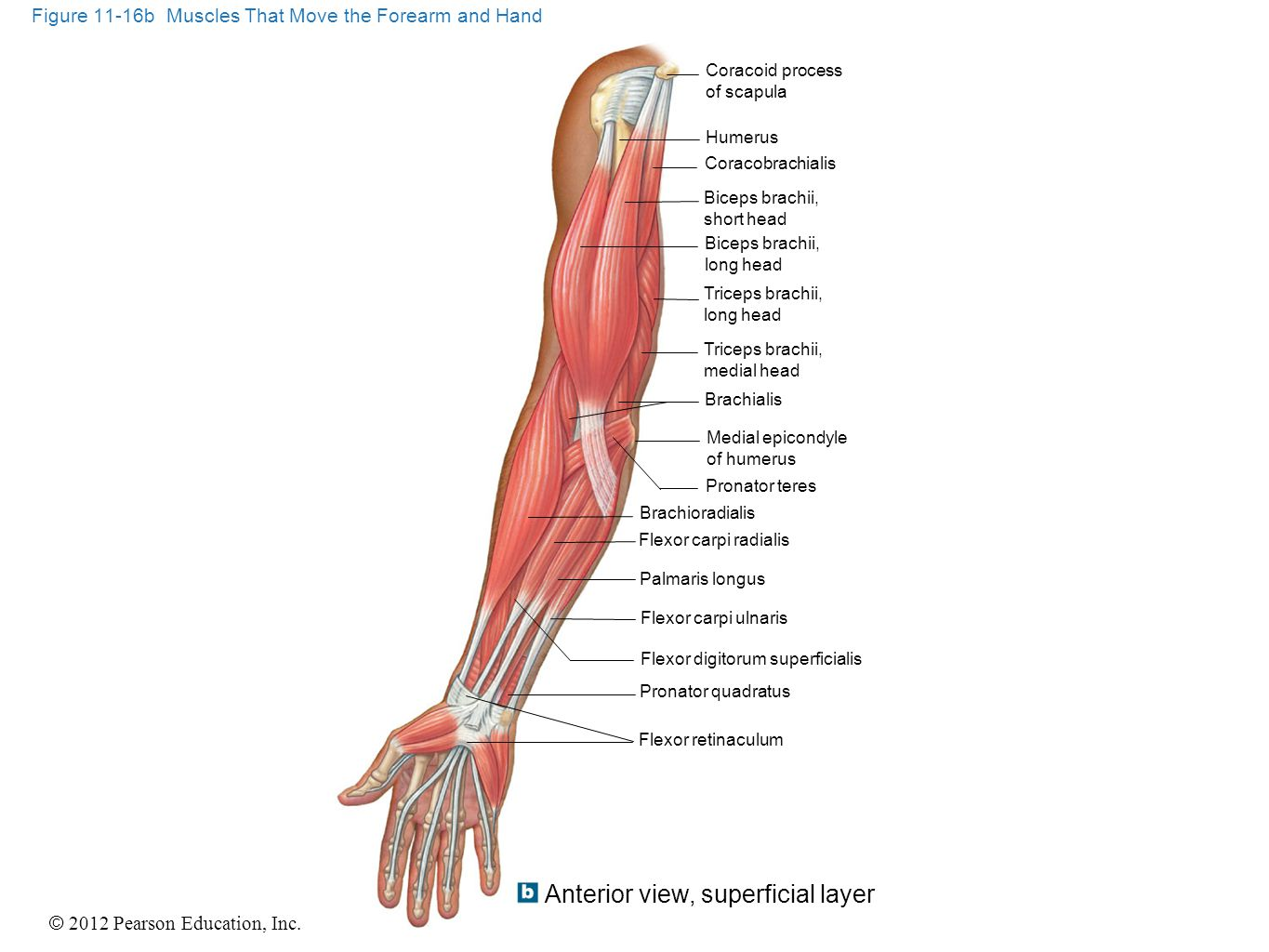 © 2012 Pearson Education, Inc. Figure 11-16b Muscles That Move the Forearm and Hand Coracoid process of scapula Humerus Coracobrachialis Biceps brachi
