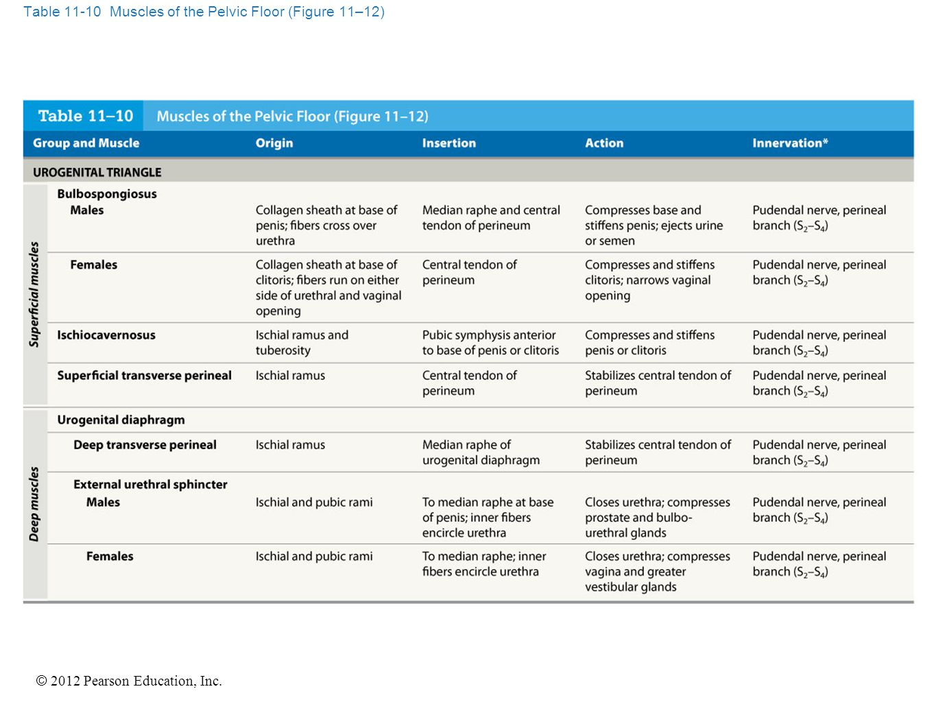 © 2012 Pearson Education, Inc. Table 11-13 Muscles That Move the Forearm and Hand (Figure 11–16)