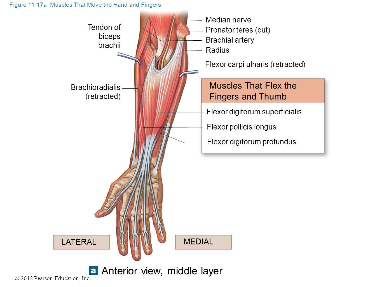 © 2012 Pearson Education, Inc. Figure 11-17a Muscles That Move the Hand and Fingers Median nerve Pronator teres (cut) Brachial artery Radius Flexor ca