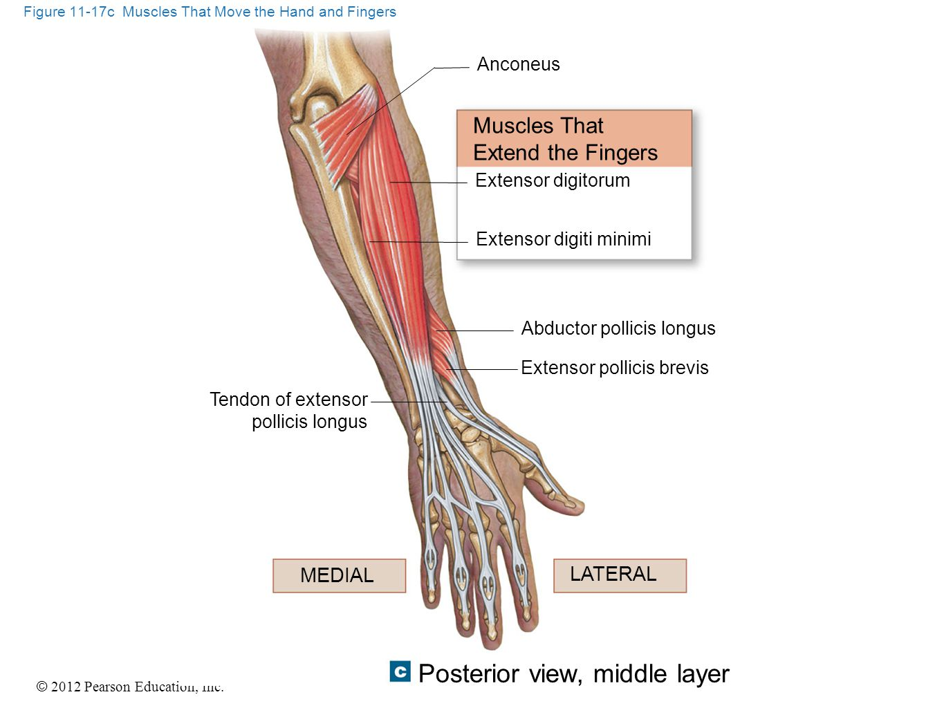 © 2012 Pearson Education, Inc. Figure 11-17c Muscles That Move the Hand and Fingers Posterior view, middle layer Anconeus Muscles That Extend the Fing