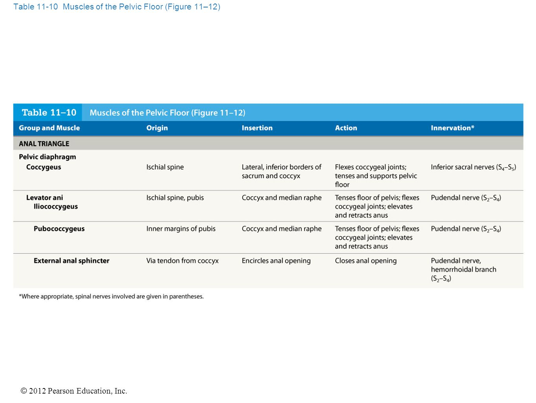 © 2012 Pearson Education, Inc. Table 11-10 Muscles of the Pelvic Floor (Figure 11–12)