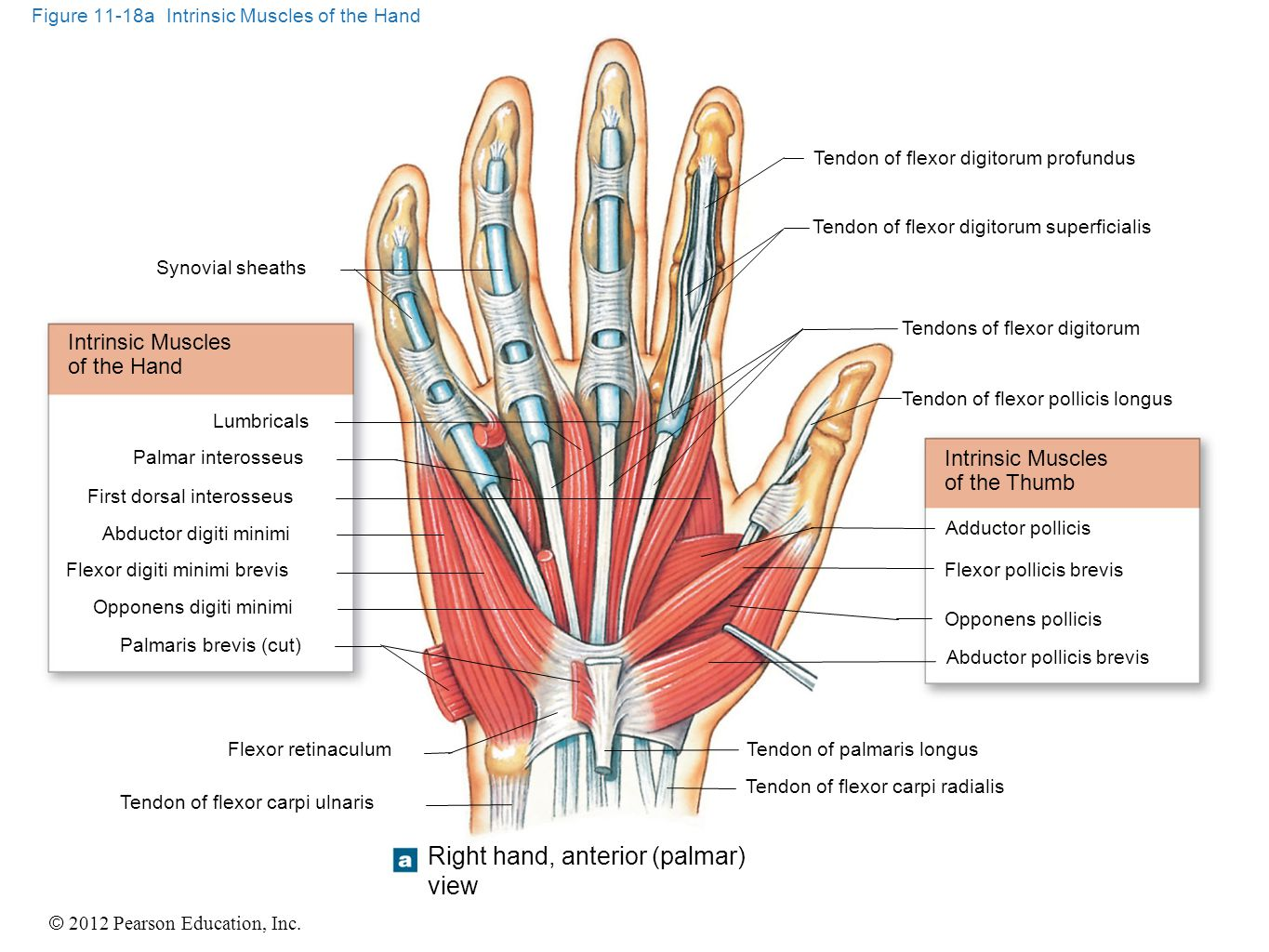 © 2012 Pearson Education, Inc. Figure 11-18a Intrinsic Muscles of the Hand Synovial sheaths Intrinsic Muscles of the Hand Lumbricals Palmar interosseu