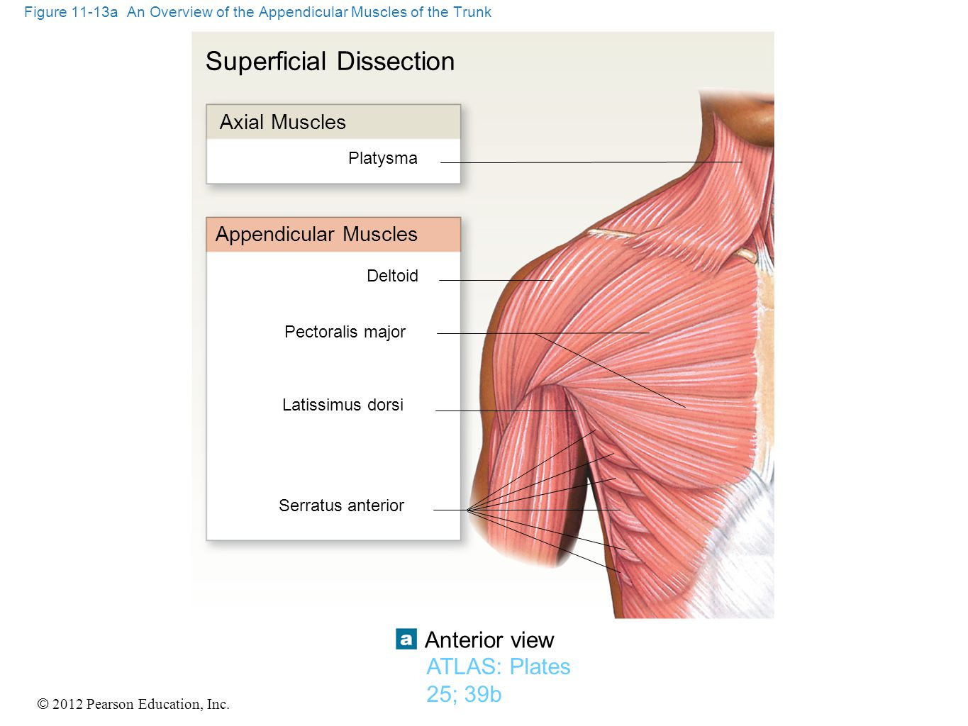 © 2012 Pearson Education, Inc. Figure 11-13a An Overview of the Appendicular Muscles of the Trunk Deltoid Superficial Dissection Axial Muscles Platysm