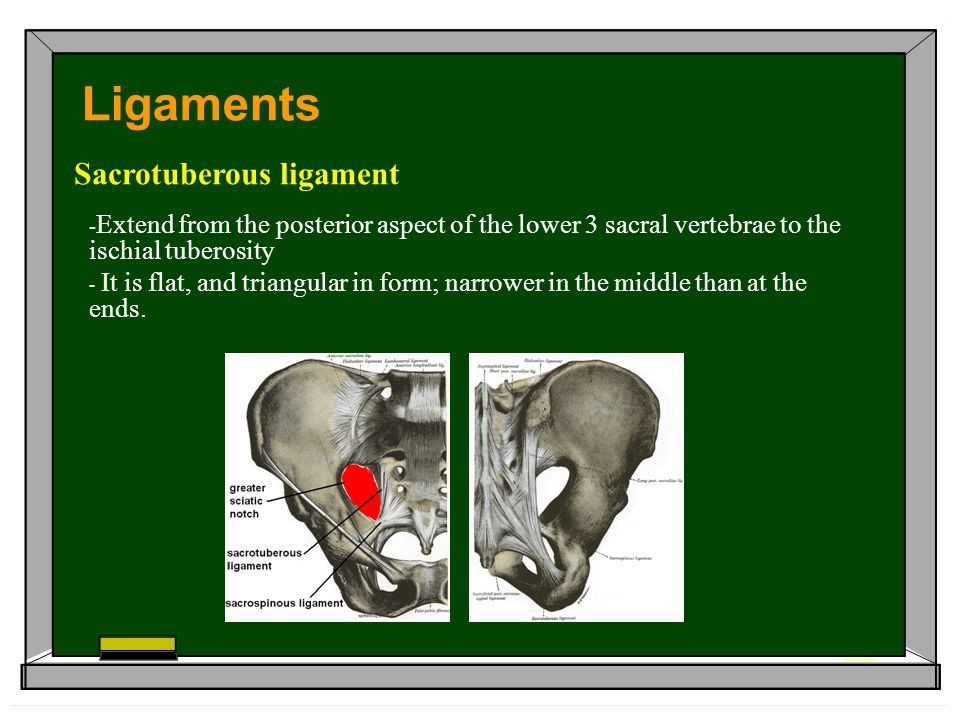 - Extend from the posterior aspect of the lower 3 sacral vertebrae to the ischial tuberosity - It is flat, and triangular in form; narrower in the middle than at the ends.