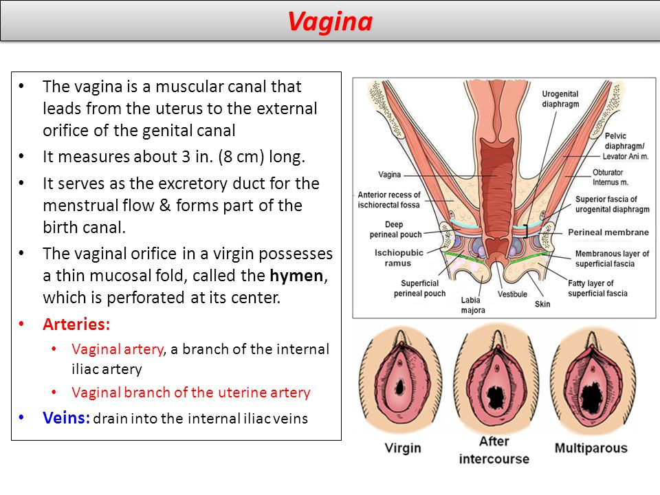 VaginaVagina The vagina is a muscular canal that leads from the uterus to the external orifice of the genital canal It measures about 3 in. (8 cm) lon