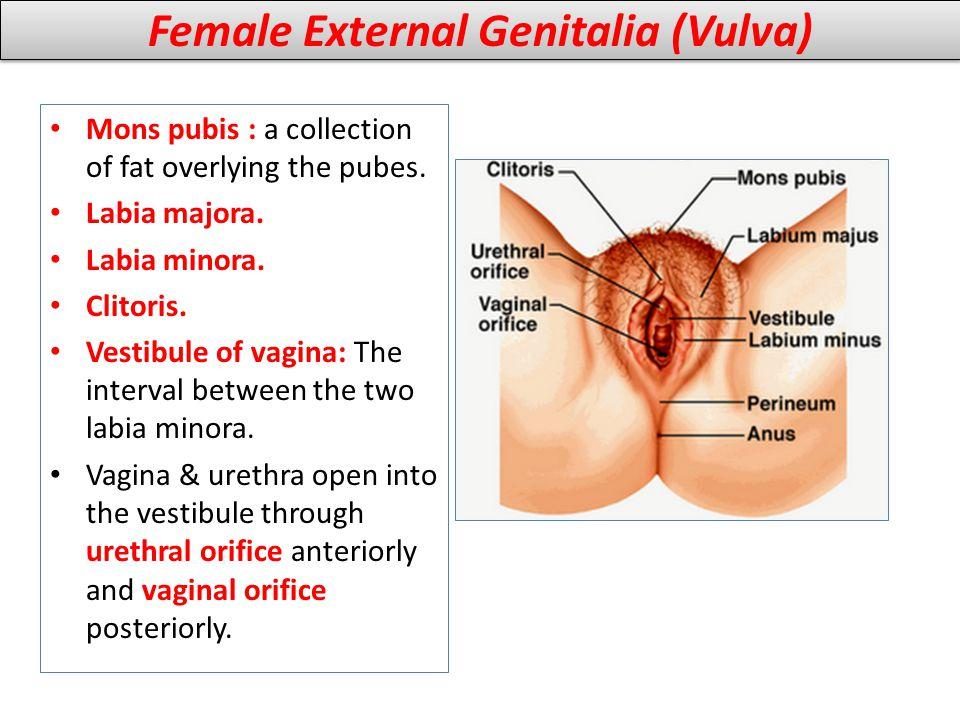 Female External Genitalia (Vulva) Mons pubis : a collection of fat overlying the pubes. Labia majora. Labia minora. Clitoris. Vestibule of vagina: The