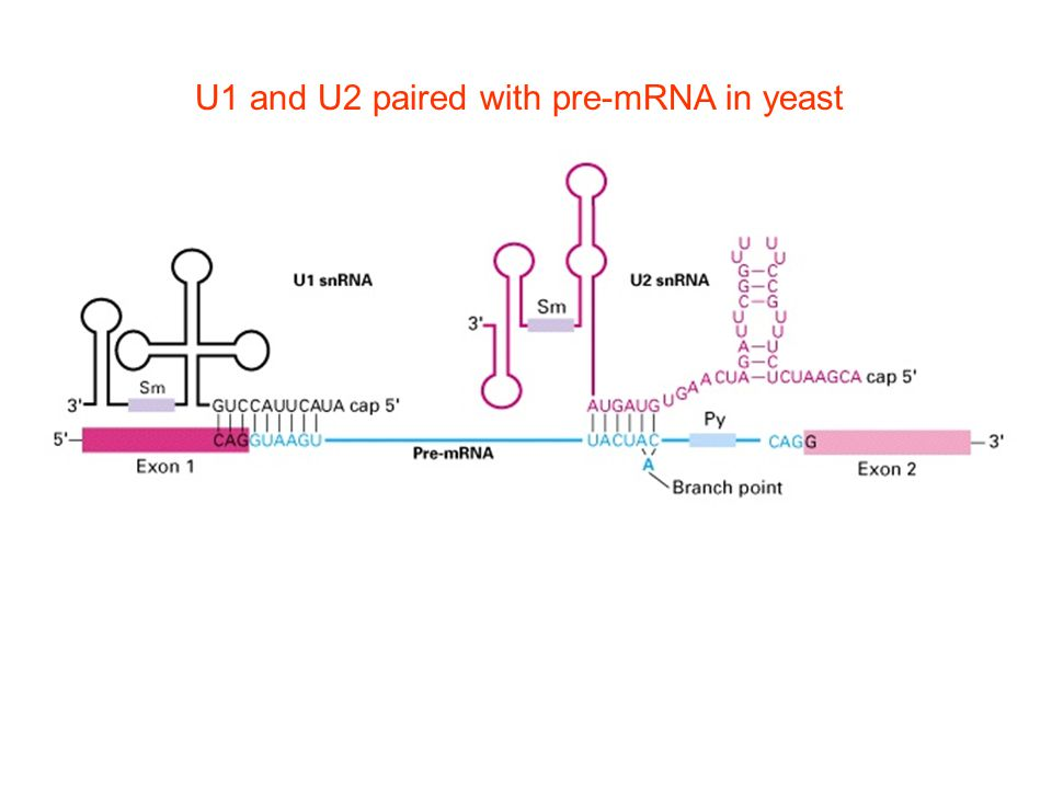 U1 and U2 paired with pre-mRNA in yeast