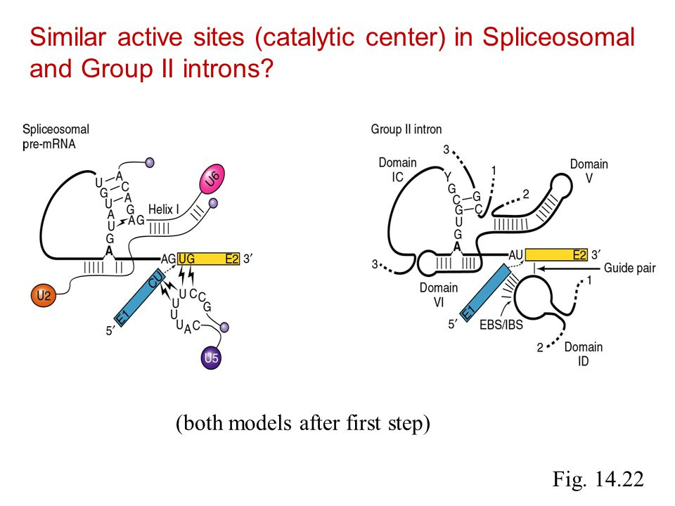 Fig.14.22 Similar active sites (catalytic center) in Spliceosomal and Group II introns.