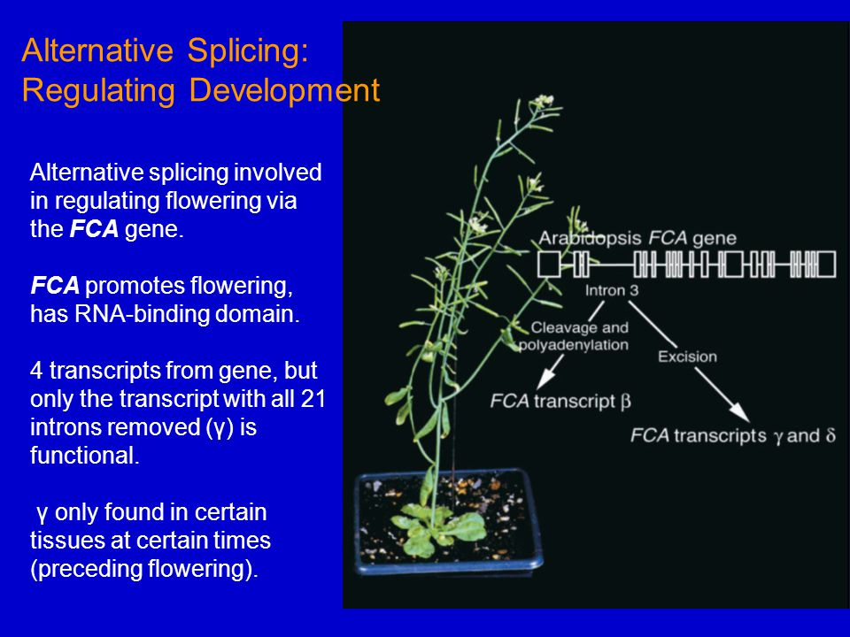 Alternative splicing involved in regulating flowering via the FCA gene.