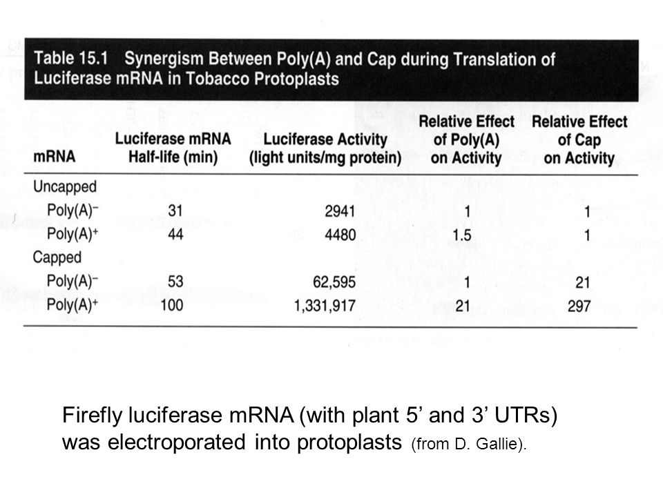 Firefly luciferase mRNA (with plant 5' and 3' UTRs) was electroporated into protoplasts (from D. Gallie).