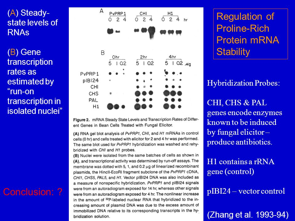 Hybridization Probes: CHI, CHS & PAL genes encode enzymes known to be induced by fungal elicitor – produce antibiotics. H1 contains a rRNA gene (contr