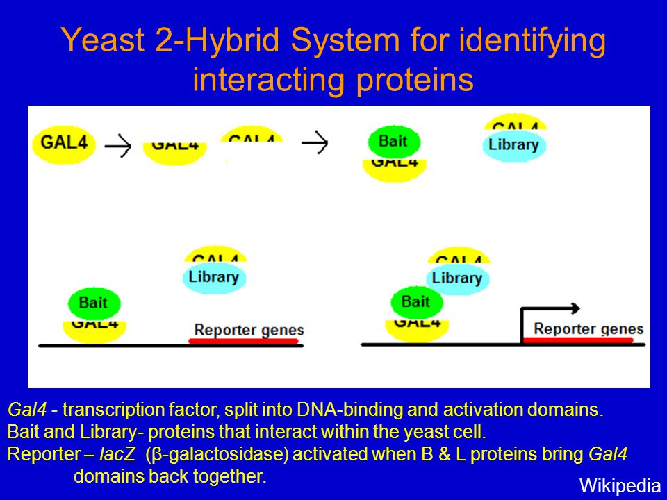 Yeast 2-Hybrid System for identifying interacting proteins Wikipedia Gal4 - transcription factor, split into DNA-binding and activation domains. Bait