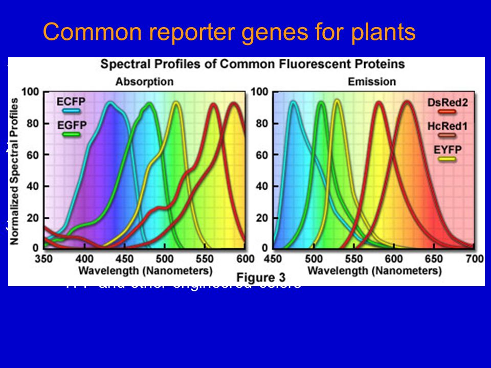 Common reporter genes for plants 1.GUS - E.